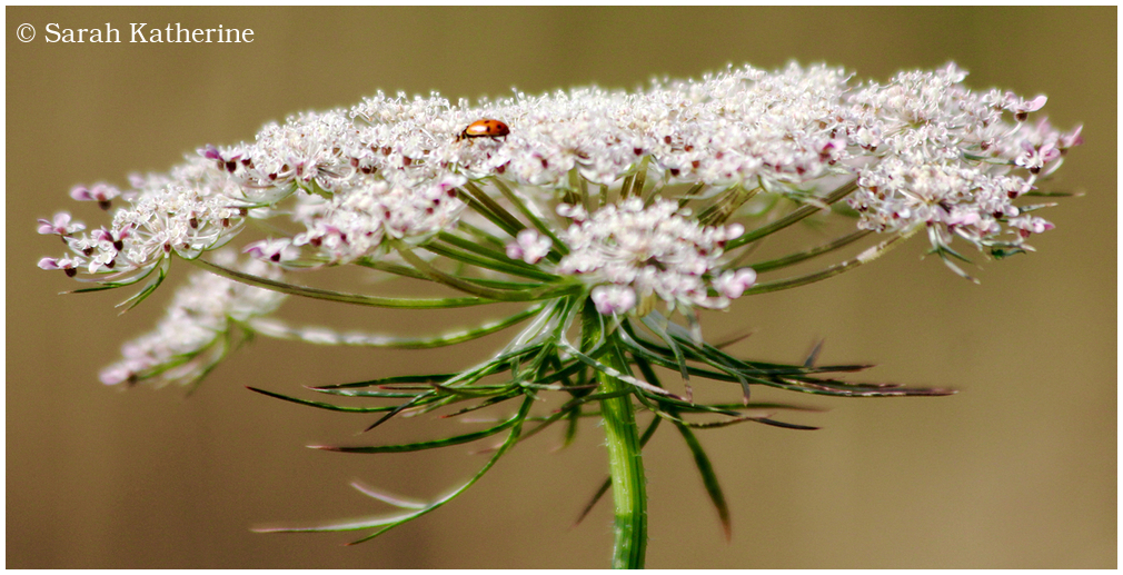 ladybug, wildflower