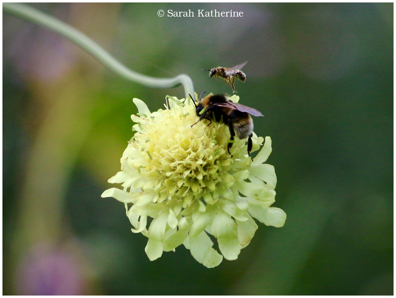 bees, wildflower