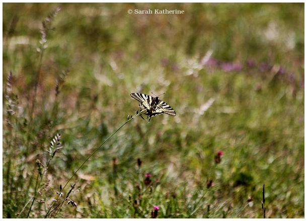 summer, butterfly, wildflowers