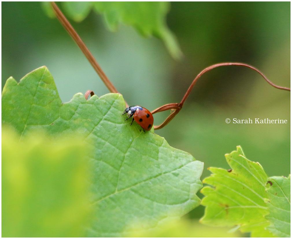 ladybug vineyards