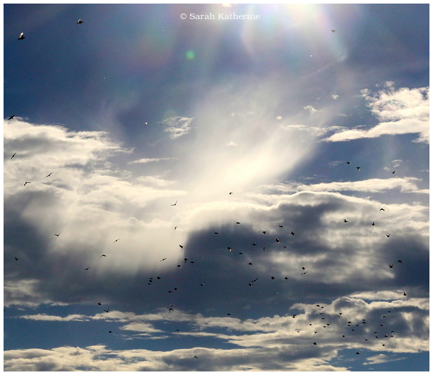 starlings sunlight clouds