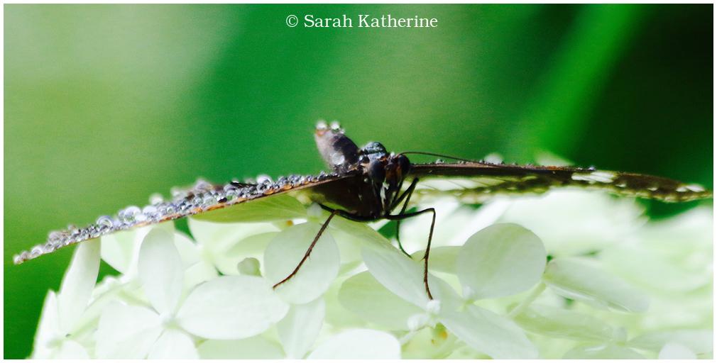 butterfly water droplets