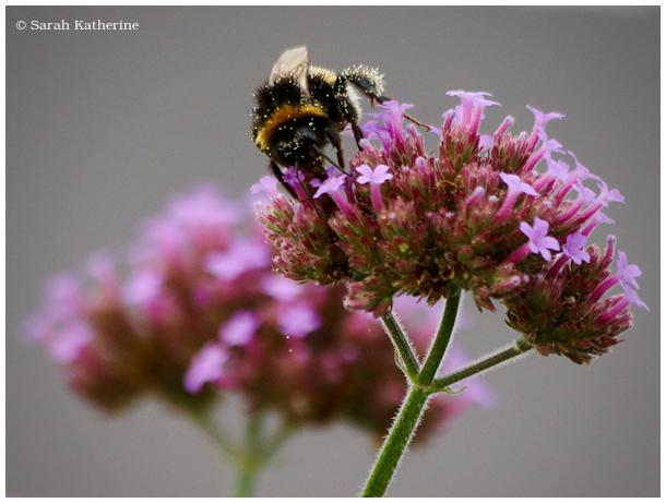 bee verveine pollen