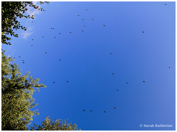 trees, sky, blue, birds, starlings