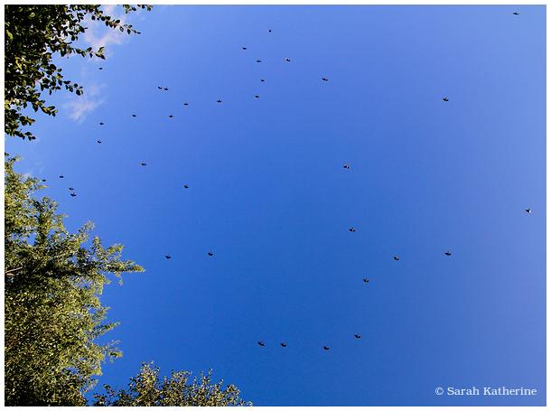 trees, sky, blue, birds, starlings