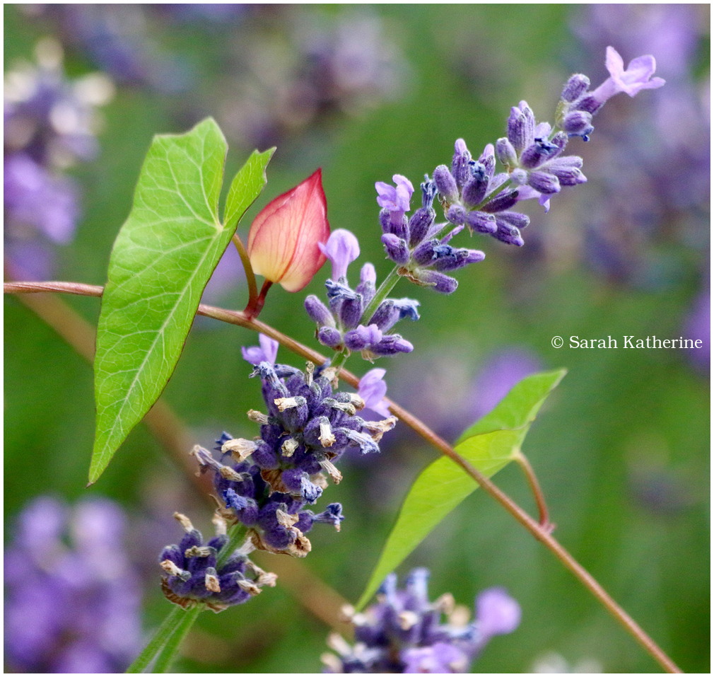lavender ivy