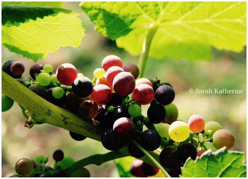 vineyard grapes sun leaves
