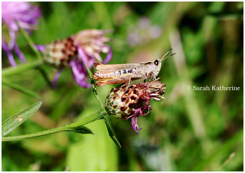 grasshopper garden summer plant flower
