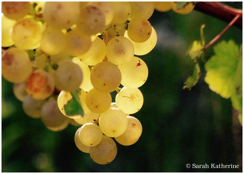 vines, grapes, vineyard