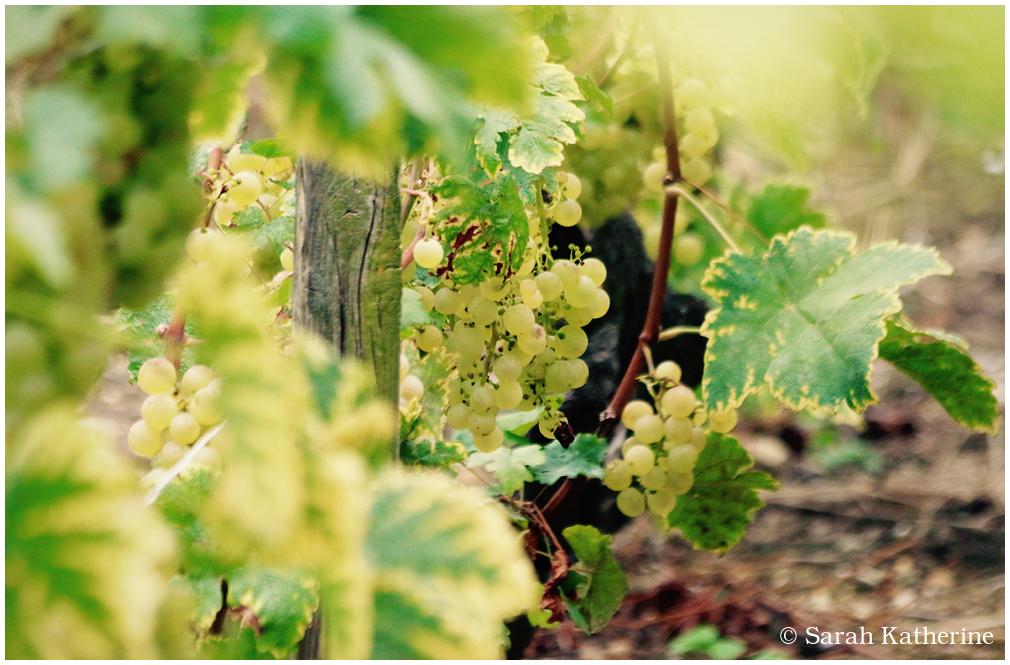 vines, green, grapes, sunlight