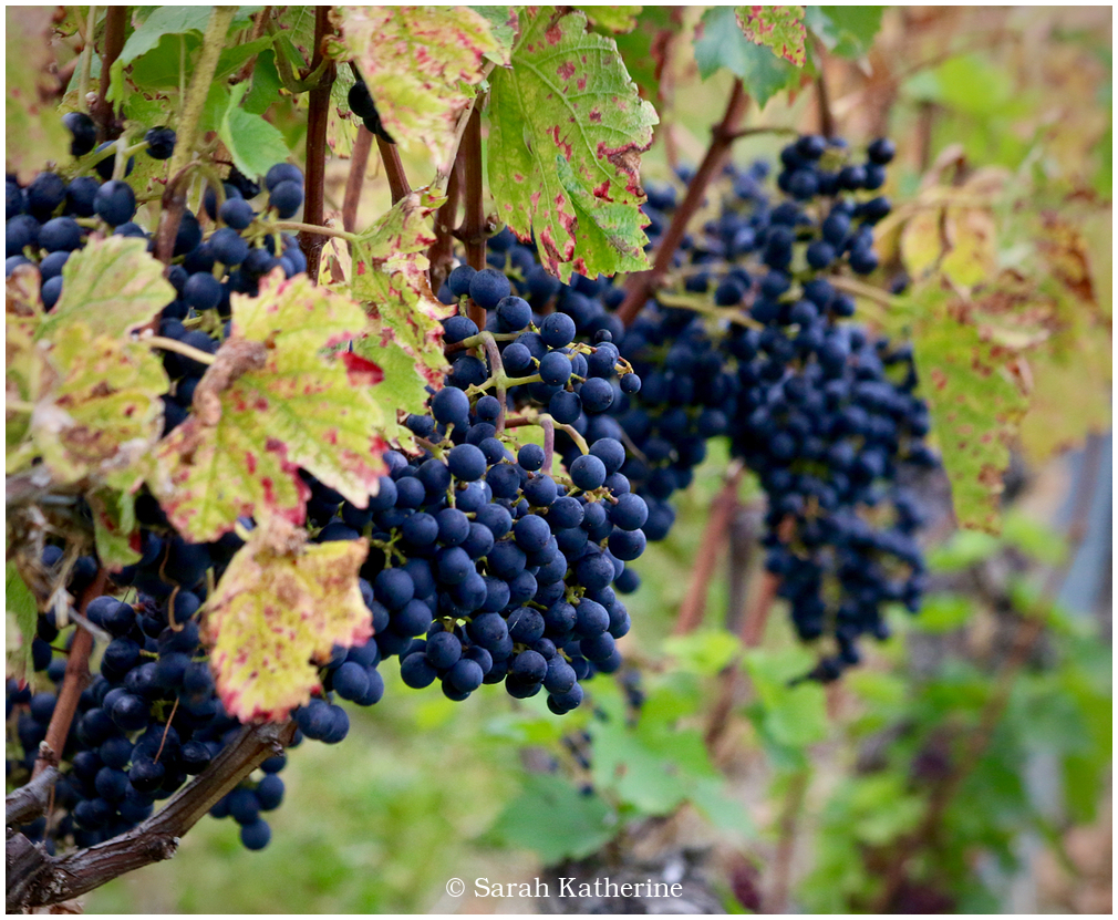grapes, vines, vineyard, autumn