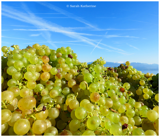 harvest, vendanges, grapes, mont blanc, vineyards,