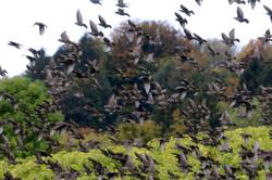 Field of Starlings