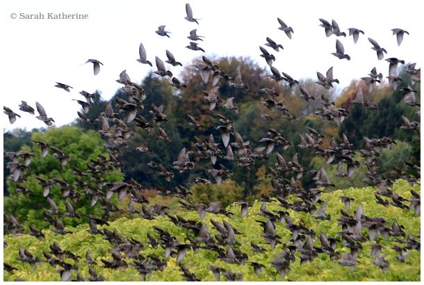 starlings, autumn