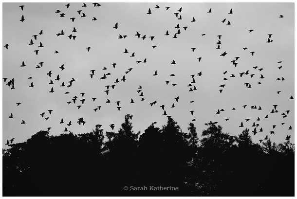 starlings. forest, trees
