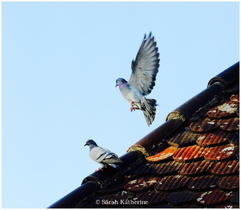 pigeons, rooftop, autumn