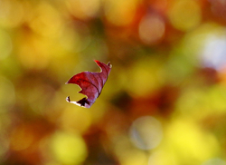 Fluttering From the Autumn Tree