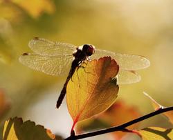 The Autumn Dame