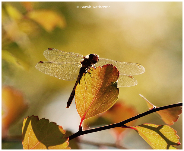 dragonfly, autumn