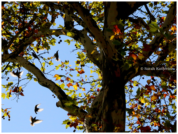 starlings, autumn, tree