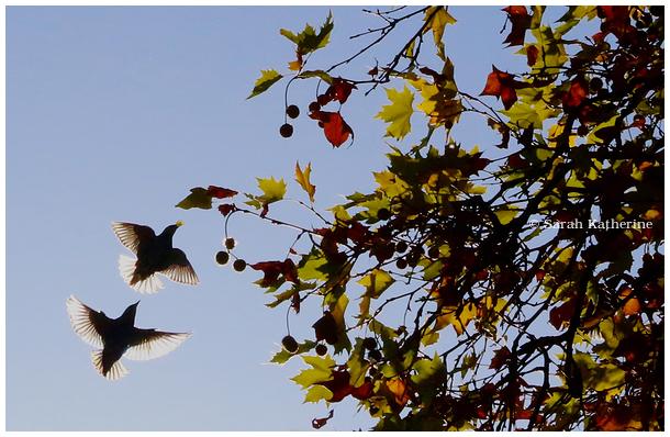 starlings sunlight autumn tree leaves grape