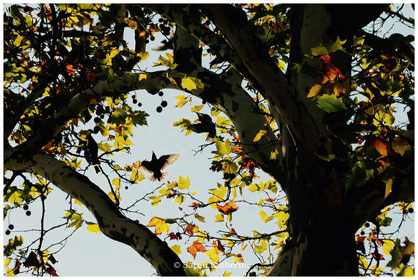 starlings, autumn, leaves, colours