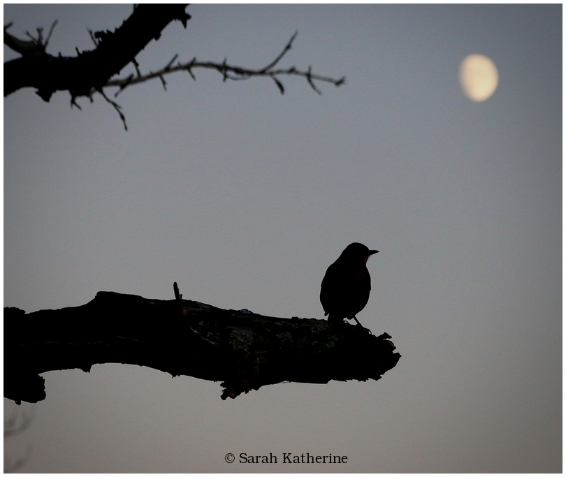 blackbird, moon, gaze, autumn