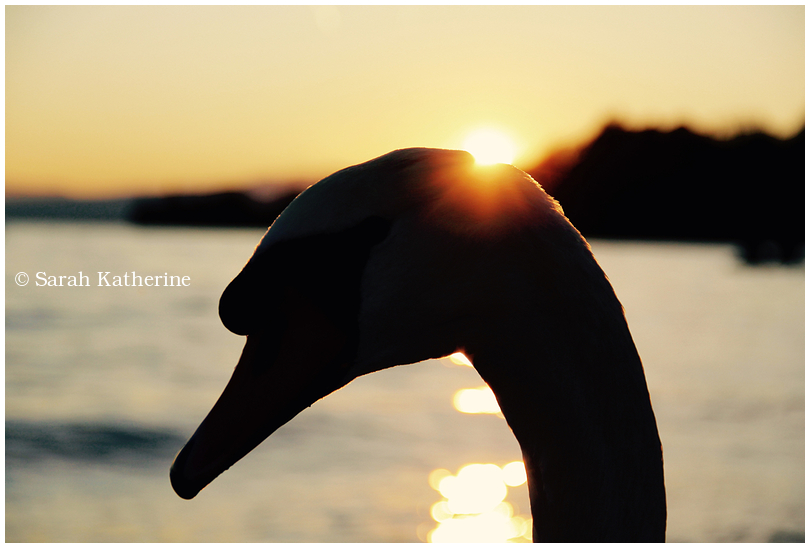 swan sunlight lake