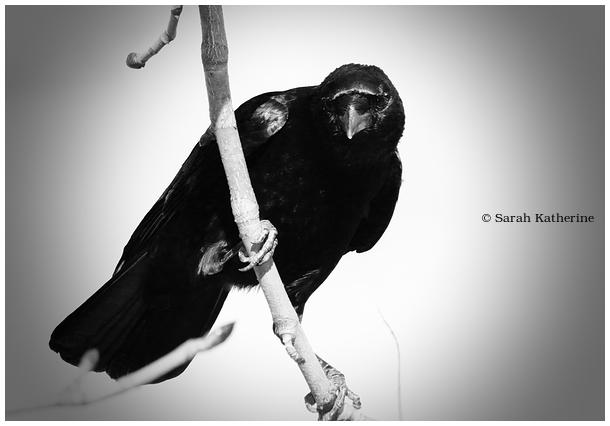 crow, she