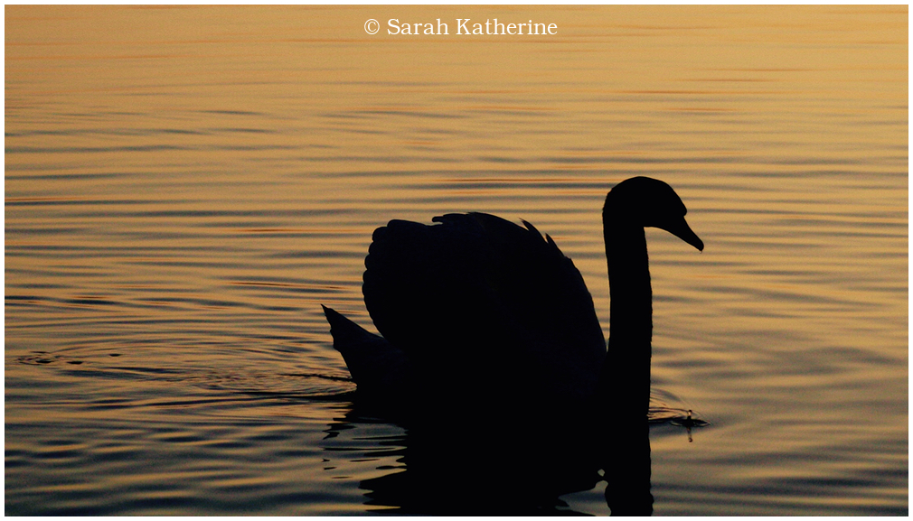 swan, lake, autumn, sunset
