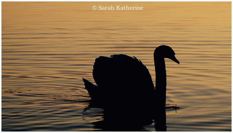 swan, lake, autumn, sunset