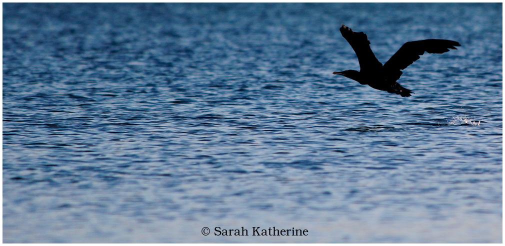 cormorant, lake
