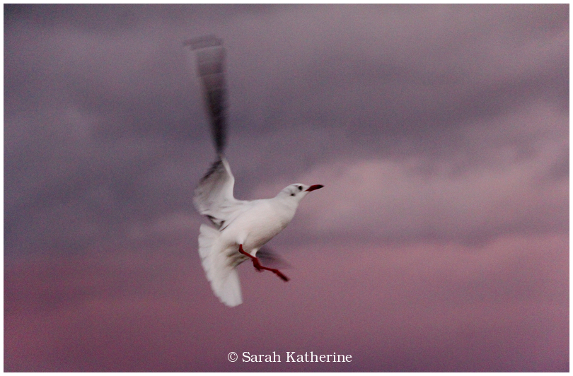 gull, sunset, clouds, autumn