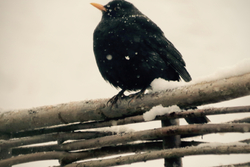 The Blackbird on My Fence