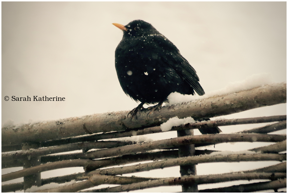 blackbird, snow, fence