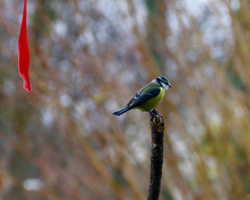 The Red Ribbon and the Blue Tit