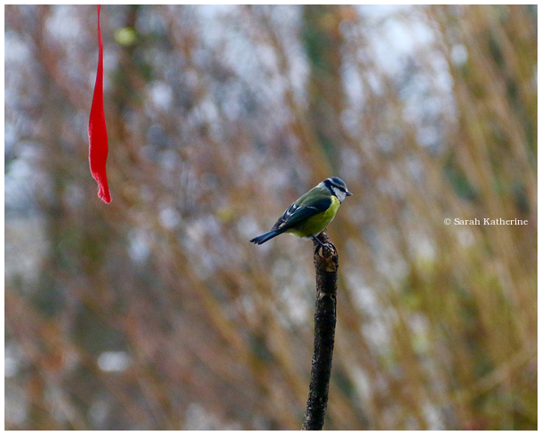 bluetit, ribbon, autumn