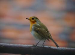 Robin in the Rain