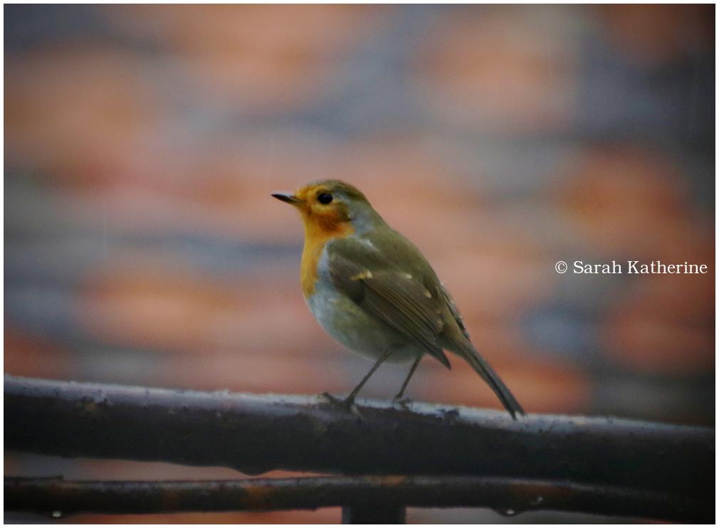 robin, rain
