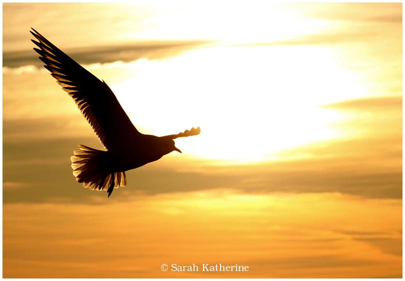 sun, wings. gull, winter