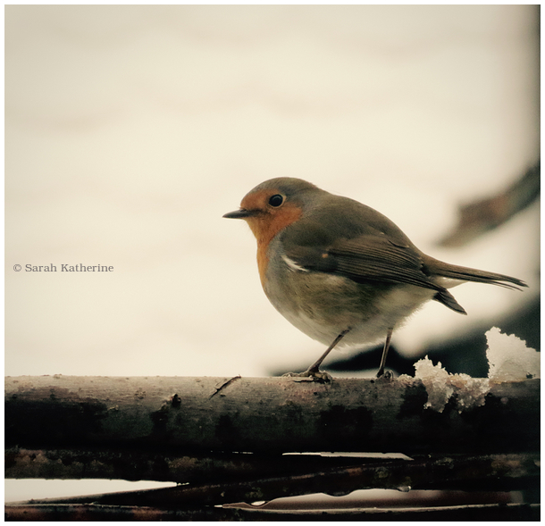 robin, snow, winter