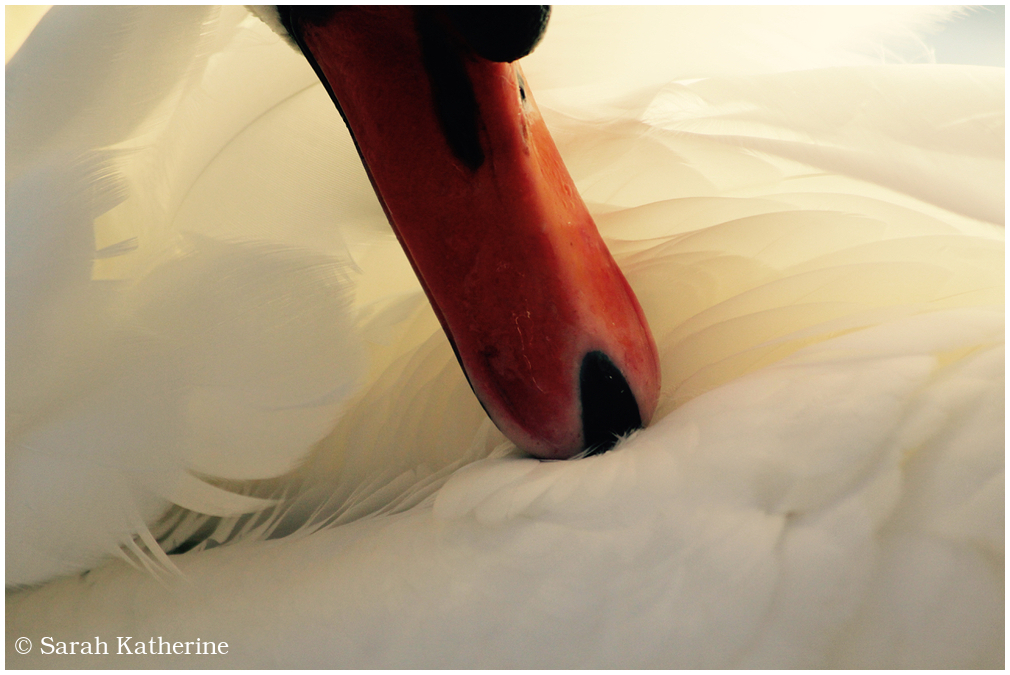 swan, beak, feathers, light