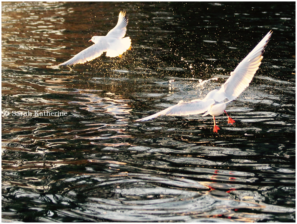 gulls, lake, water, winter