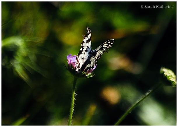 divine butterfly, summer