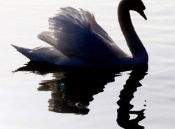 The Swan Dragon