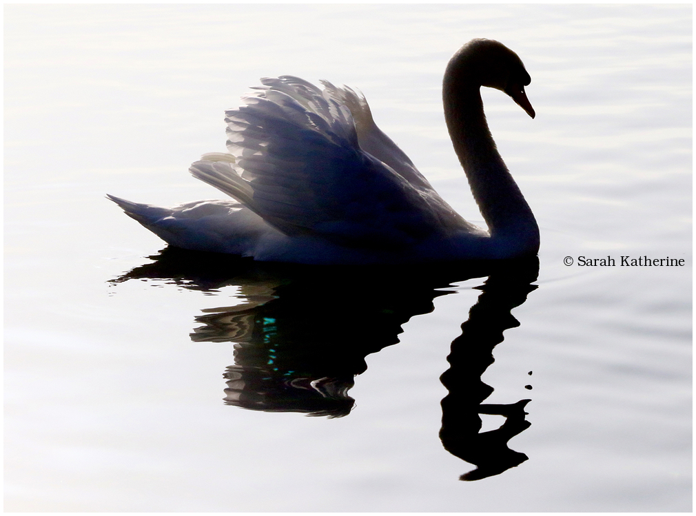 swan, dragon, reflection