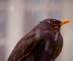 Snowflakes on a Blackbird