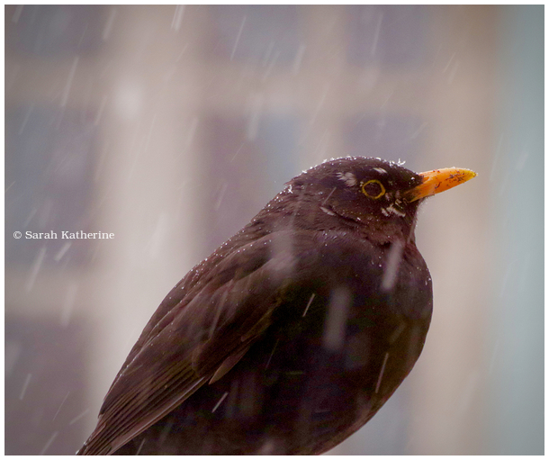 blackbird, snow, winter