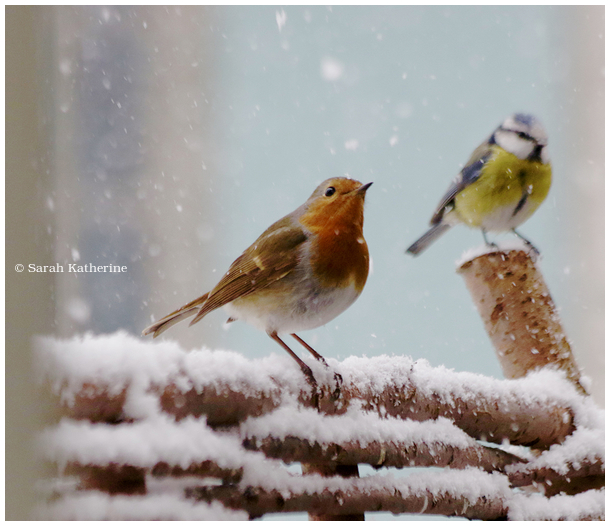 robin, snow, bluetit, winter