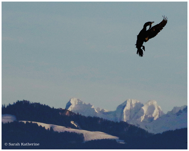 cormorant, mountains, winter